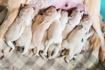 https://cf.ltkcdn.net/dogs/images/slide/278010-850x567-puppies-nursing.jpg
