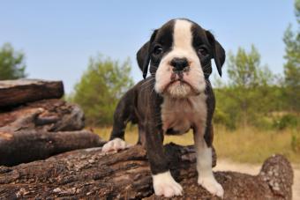 Miniature Boxer Puppy