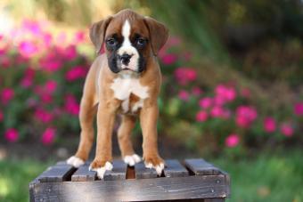 Boxer Puppy Standing on Wooden Crate in Garden