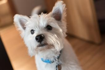 Close-Up Portrait Of West Highland terriers
