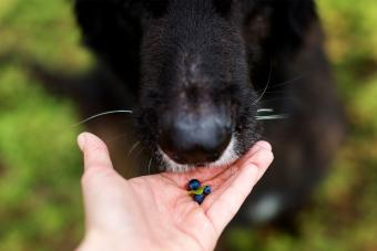 Diet for Dogs with Liver Disease blueberries