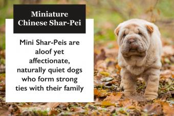 Miniature Chinese Shar-Pei breed