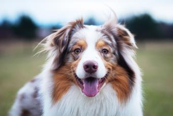 Australian Shepherd Dogs: Everything You Need to Know