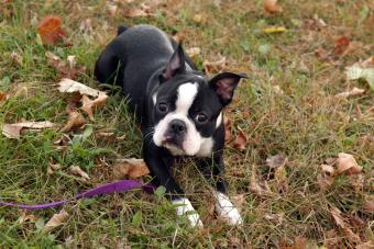 Boston Terrier Profile: Everything to Know About the Breed