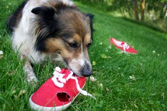 Stop Your Dog From Chewing Shoes: How to Save Your Footwear