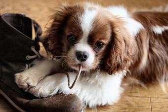 Puppy Biting Shoelace