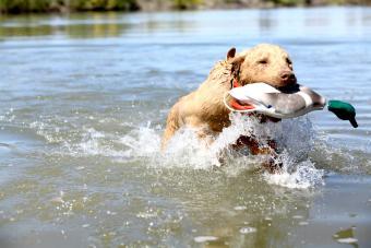 Chesapeake Bay Retriever pup retrieving training Duck