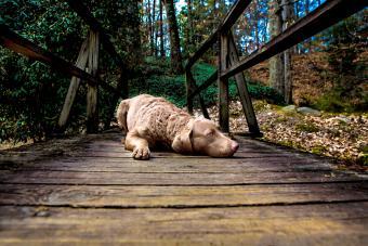 Retriever Laying on a Bridge