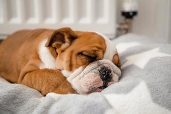 A cute British Bulldog sleeping in a dog bed