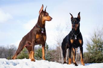 Doberman Pinscher Dogs Outdoors in Winter Snow