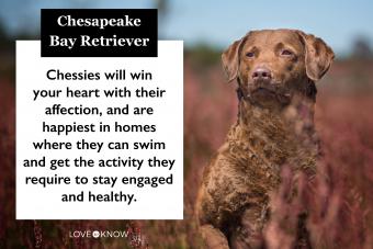 Chespaeake Bay Retriever Breed Characteristics