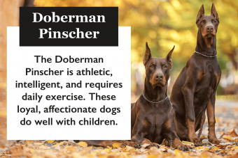 Doberman Pinscher description
