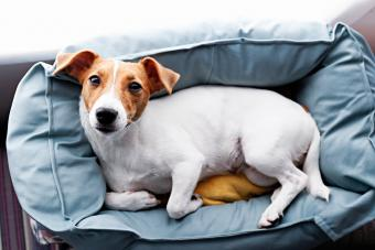 4 Helpful Hints to Remove Urine Stains on Dog Fur