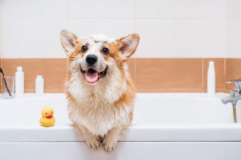 Portrait of Corgi dog standing in bathtub