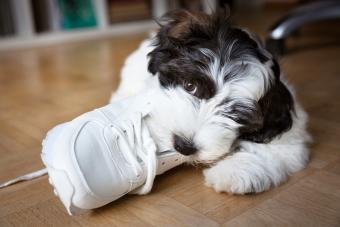 Inquisitive puppy chewing a sports shoe