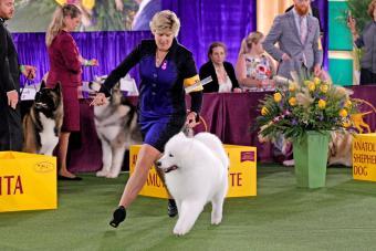 Dog Show Striker the Samoyed handler