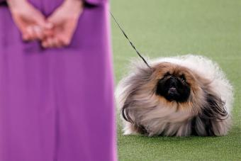 Wasabi the Pekingese competes in Best in Show