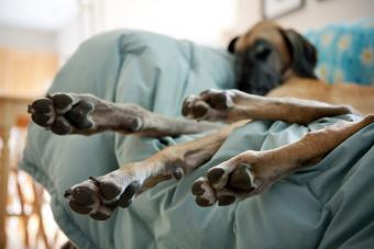 Great Dane dog sleeping on couch with paws hanging off