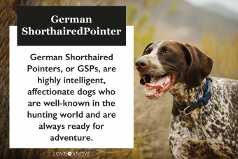 German Short-Haired Pointer characteristics