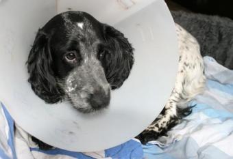 Dog in Elizabethan collar