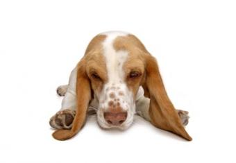 Photo of a Basset Hound and its long ears