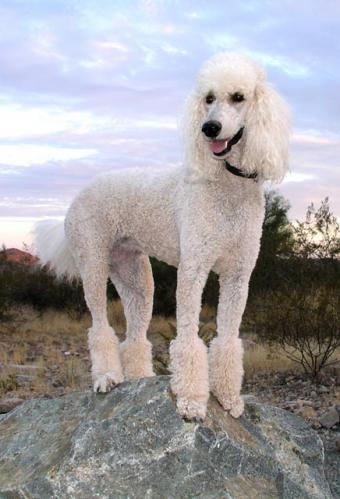 Poodle Dog Breed Varieties and Traits