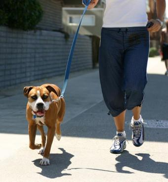 Guide to the Ever-Popular Boxer Dog