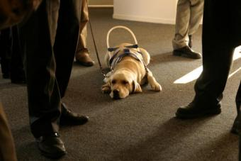 Seeing eye dog waiting to help its person