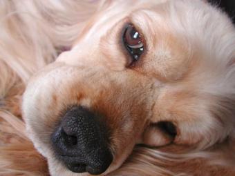 In-Depth Look at Cushing's Disease in Dogs