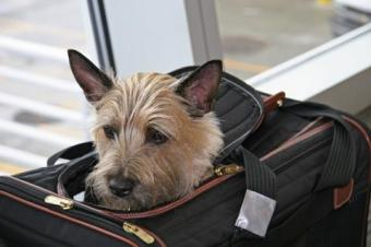 Small Terrier in a travel carrier