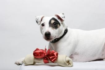 Jack Russell Terrier with a Christmas bone