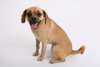 Puggle Dog Traits and Personality