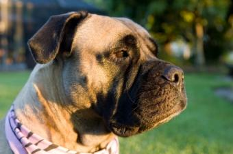 Get to Know the Mighty Bullmastiff