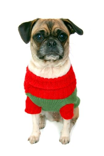 Pug dog wearing a red and green sweater