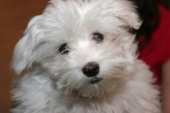 Closeup of a Maltese puppy