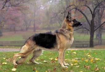 My German Shepherd Limps