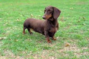Dachshund is on the most popular dog breeds