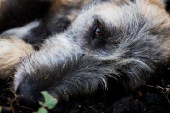 Irish Wolfhound Dog Breed Traits and History