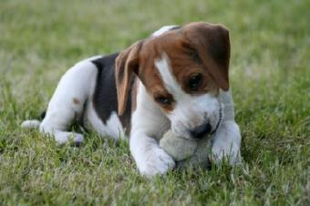 Advice for Owners of an Aggressive Puppy