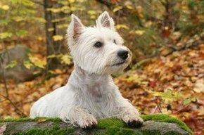 West Highland Terrier Characteristics and Health Issues