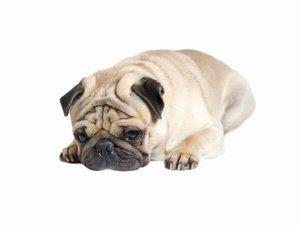 A chubby Pug dog laying down