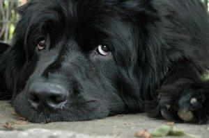 Canine Valley Fever Signs, Diagnosis and Treatment