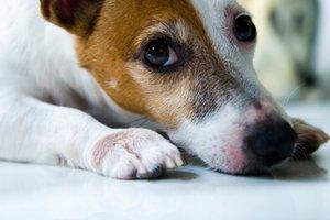 Canine Myasthenia Gravis Signs and Treatments