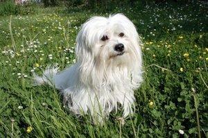 Meet the Merry Coton de Tulear Dog