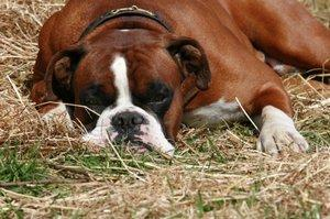 Boxer is one of the most popular dog breeds