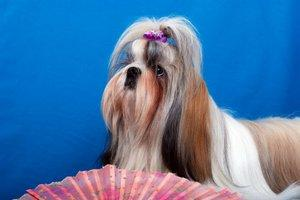 Shih Tzu is one of the most popular dog breeds