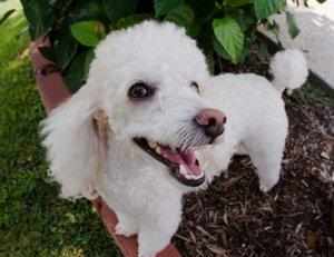 Smiling Poodle