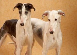 Canine couple