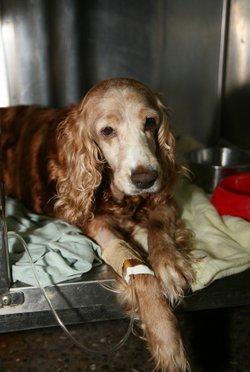Dog Distemper Symptoms