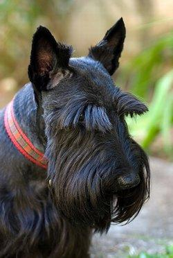 Scottish Terrier Breed Profile and Health Issues